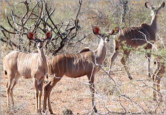 Kudu in the Kruger Park