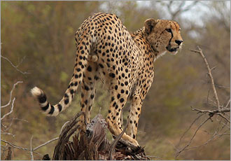 Cheetah sighting - something special at Kruger Park
